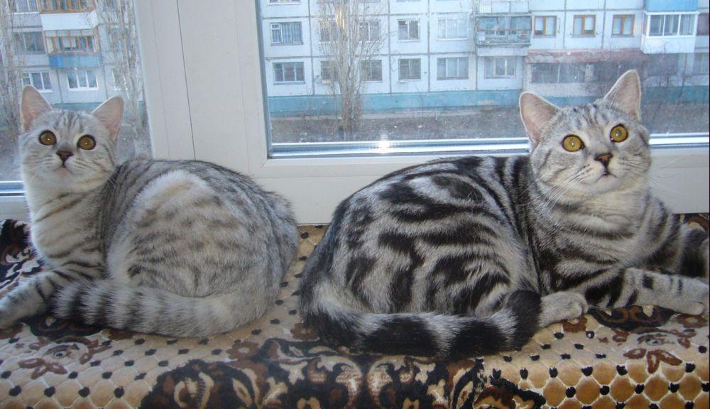 производители котята на продажу наши ...: britanket.narod.ru